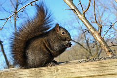 Black Squirrel. In Morning Sun Feeding On Seeds Royalty Free Stock Image