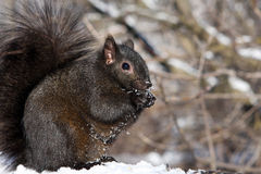 Black Squirrel. Feeding In Morning Sun On Snow Royalty Free Stock Images