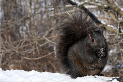 Black Squirrel. Feeding On Seeds In Morning Sun Royalty Free Stock Photography
