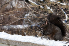 Black Squirrel. On Snow In Morning Sun Royalty Free Stock Photos