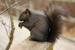 Black Squirrel Stock Images