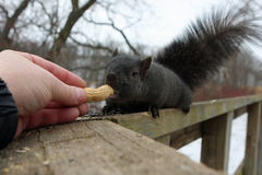 Black Squirrel. On Rail Taking Peanut From Hand Royalty Free Stock Photography