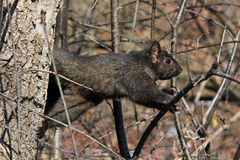 Black Squirrel. In Afternoon Sun In Tree Royalty Free Stock Images