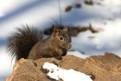 Free Black Squirrel Stock Images - 18486214