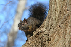 Black Squirrel Royalty Free Stock Photography