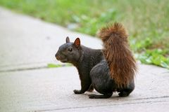 Black Squirrel Stock Photography