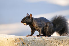 Black Squirrel with Acorn. A black squirrel eating an acorn Royalty Free Stock Photo