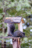 Black Squirrel at Backyard Feeder Royalty Free Stock Photos