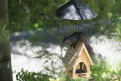Black Squirrel beats the baffle Stock Image