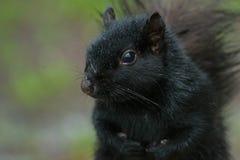 Black Squirrel royalty free stock photos