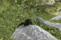 Black squirrel crouched on a rock in Prince`s Island Park. Close to Calgary downtown royalty free stock image
