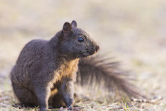 Black squirrel Stock Image