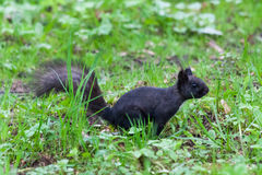 Black squirrel. Curious black squirrel in the park Royalty Free Stock Photos