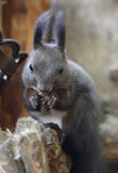 Black Squirrel. A cute little black squirrel royalty free stock images