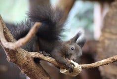 Black Squirrel. A cute little black squirrel stock images
