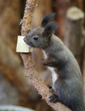 Black Squirrel. A cute little black squirrel royalty free stock image