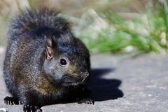 BLACK SQUIRREL. A cute black squirrel standing on a rock Royalty Free Stock Photography