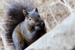 Black Squirrel. A Black squirrel eating food Royalty Free Stock Photography