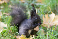 Black squirrel eating a nut Royalty Free Stock Photos