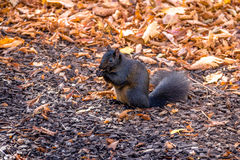 Black Squirrel eating a nut between the autumn leaves of Queens Park - Toronto, Ontario, Canada Stock Photos