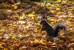Black Squirrel eating a nut between the autumn leaves of Queens Park - Toronto, Ontario, Canada Royalty Free Stock Images