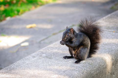 Black squirrel eating a peanut Royalty Free Stock Image