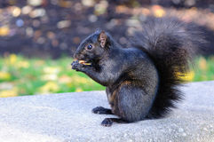 Black squirrel eating a peanut Royalty Free Stock Images