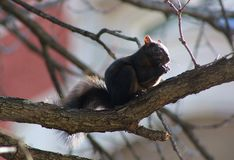 A black squirrel eating on a tree. Black squirrel only been saw Washington DC and Canada stock photography