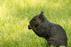 A Black Squirrel Eats in the Grass Stock Photo