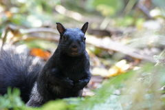 Black squirrel, fall leaves. Stock Image
