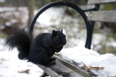 Black Squirrel Stock Photos