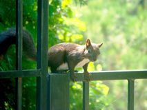 Black squirrel on a fence of park royalty free stock photography