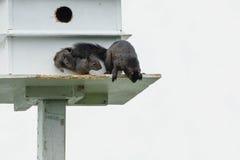 Black Squirrel stock photo
