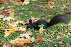 Black squirrel on the grass Royalty Free Stock Photo