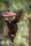 Black Squirrel Hanging on Peanut Feeder Royalty Free Stock Photo