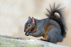 Black Squirrel Royalty Free Stock Images