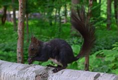 Black squirrel with large long bushy tail eating on a tree trunk in Nami Island, South Korea stock image