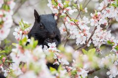 Black Squirrel in Cherry Blossoms Royalty Free Stock Photos