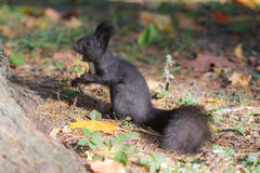Black squirrel with a nut Royalty Free Stock Photography