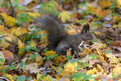 Black squirrel with a nut royalty free stock images