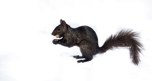 Black squirrel with a peanut  on white. Stock Photography