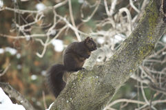 Black squirrel perched on tree branch. Cute little black squirrel perched on tree branch royalty free stock images