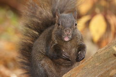 Black squirrel, pink tongue. Stock Images