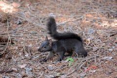 Black squirrel Stock Photography