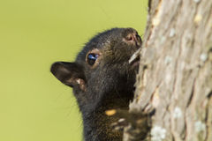 Black squirrel portrait Stock Images