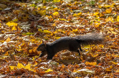 Black Squirrel running with a nut between the  autumn leaves of Queens Park - Toronto, Ontario, Canada Royalty Free Stock Photos