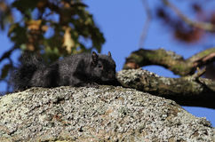 Black Squirrel Sciurus carolinensis. Royalty Free Stock Image