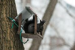 Black squirrel sitting in the trough and eating nuts in winter royalty free stock photo