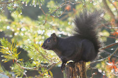 Black squirrel and sparkling droplets Stock Images