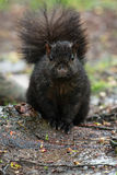 Black Squirrel stock image